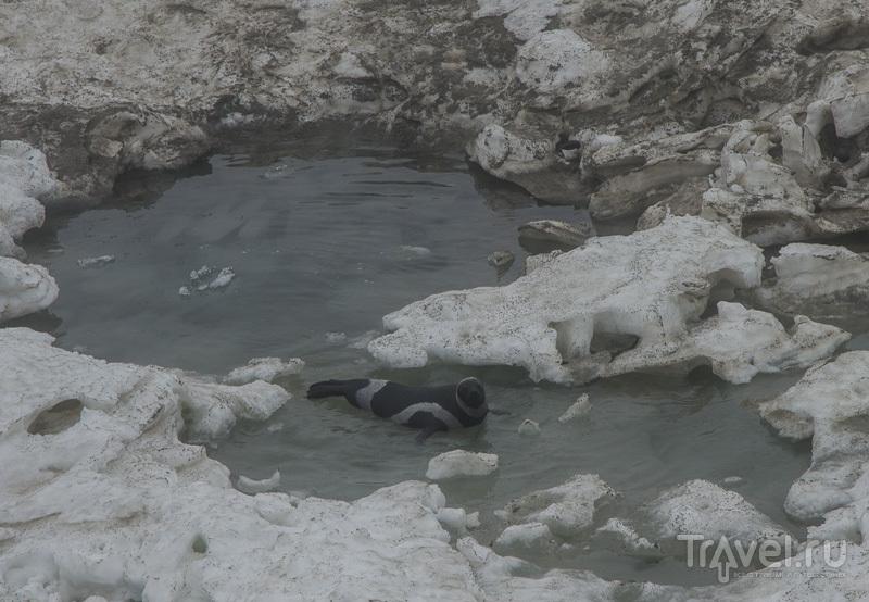 полосатый фото тюлень