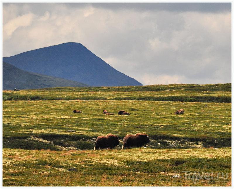 Норвегия: Фотоохота на мускусных быков / Фото из Норвегии