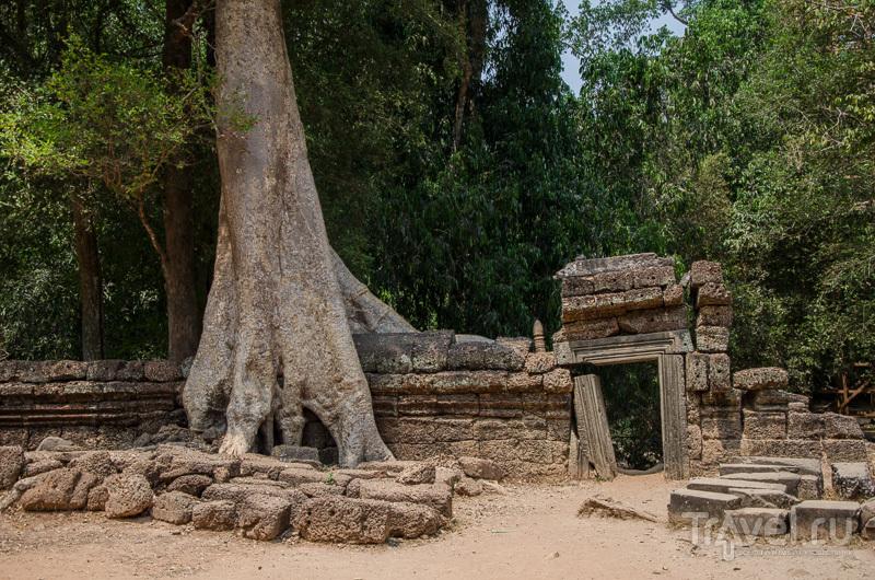 Деревья безжалостно разрушают храм и его стены / Камбоджа