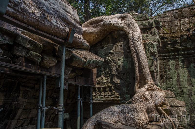 Реставраторы пытаются спасти храм и сохранить деревья / Камбоджа