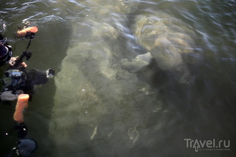 Ламантины в Кристал Ривер (Флорида, США) / Фото из США