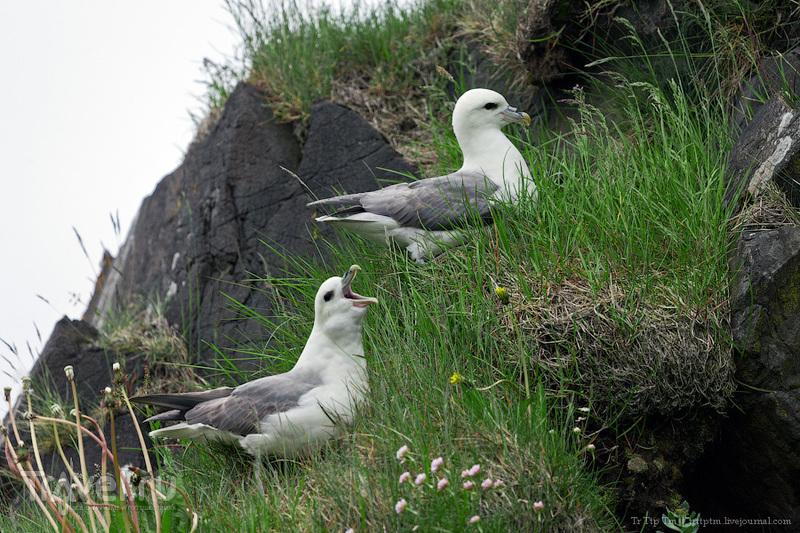 Пернатые исландских побережий / Фото из Исландии