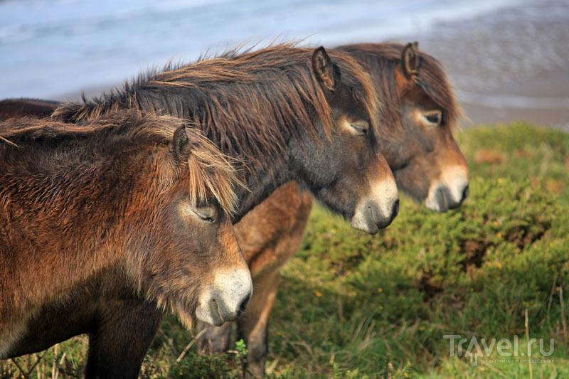 Диких пони часто можно встретить рядом с Вулакомбом / Великобритания