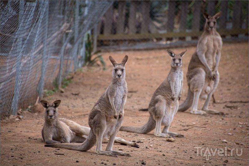 Кенгуру / Австралия