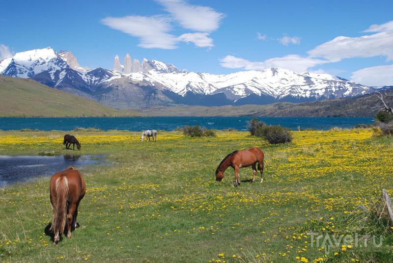 Дикие лошади в заповеднике / Чили