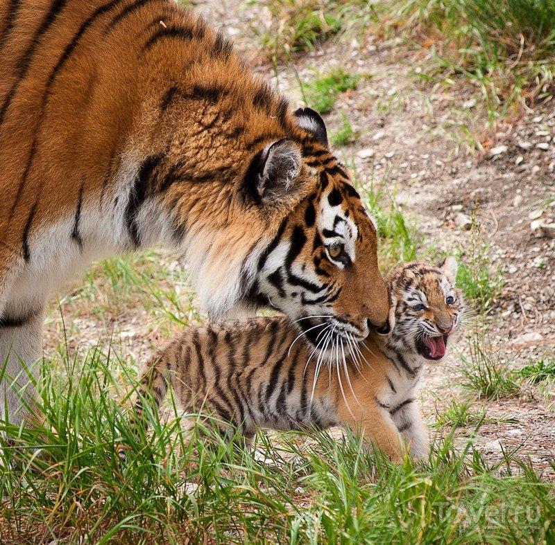 В Сафари-Парке живет несколько тигриных и львиных семейств