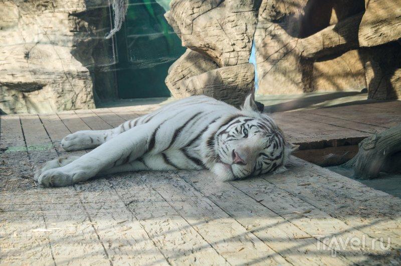 Очаровательный тигр-альбинос