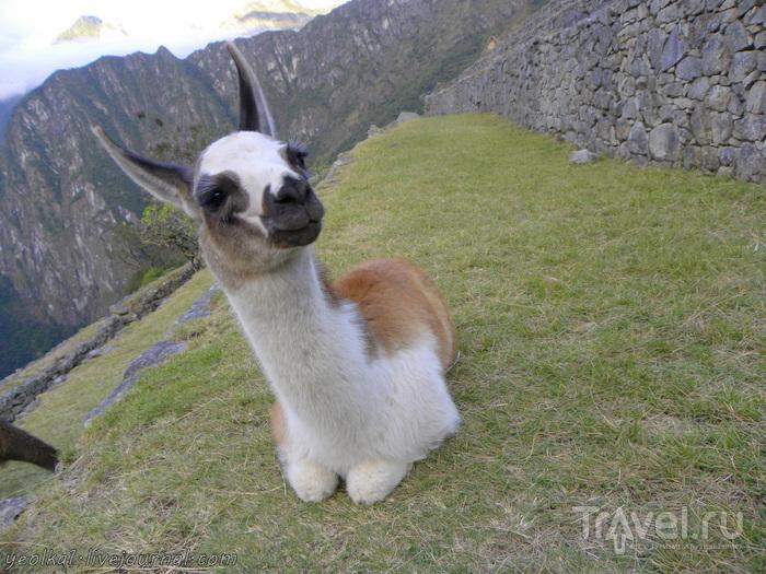 Un gran viaje a America del Sur. Перу. Мачу Пикчу - бонус. Фотосессия маленькой ламы / Перу