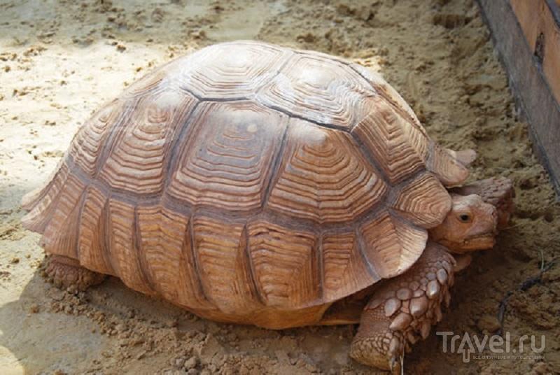 Гигинтская черепаха из зоопарка в Голубицкой