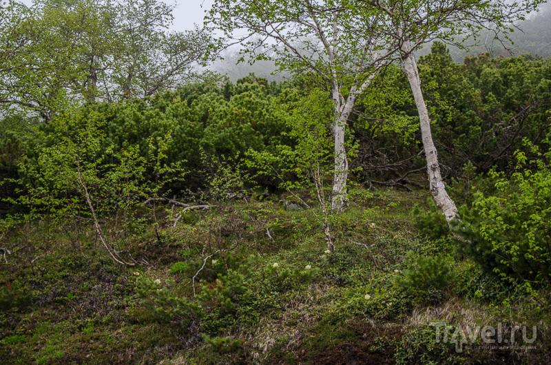 Каменная береза / Фото из России
