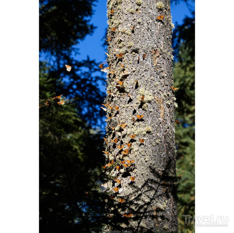 Мексика. Бабочки Монархи / Мексика