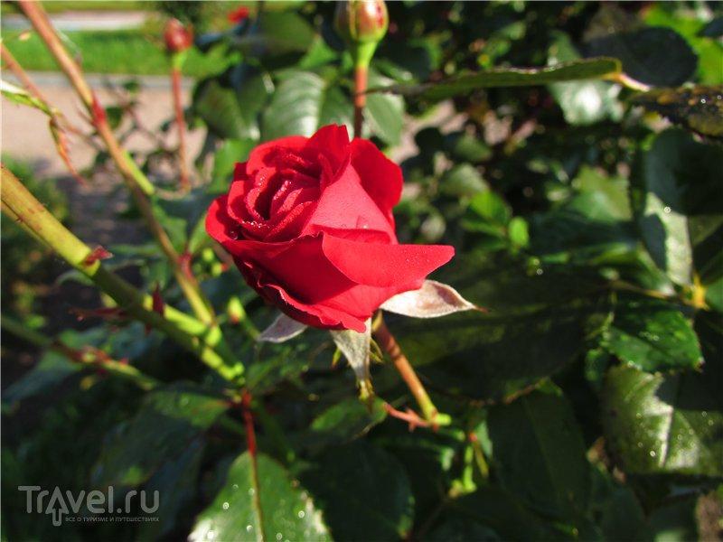 Розы Ораниенбаума / Россия