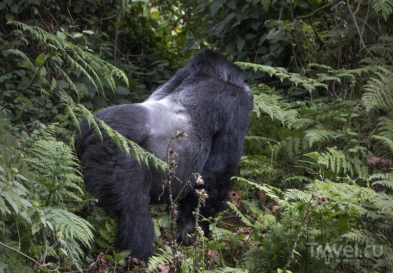 Руанда. В гости к горным гориллам / Фото из Руанды