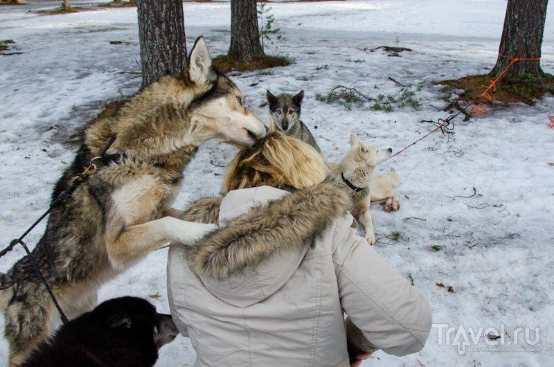 Увернуться от ласок хаски невозможно / Фото из Финляндии