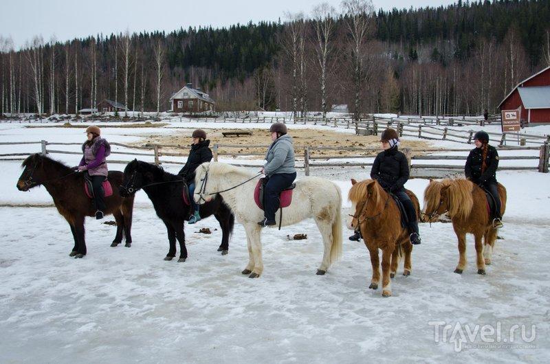 """Исландские лошадки работают на """"автопилоте"""" / Фото из Финляндии"""