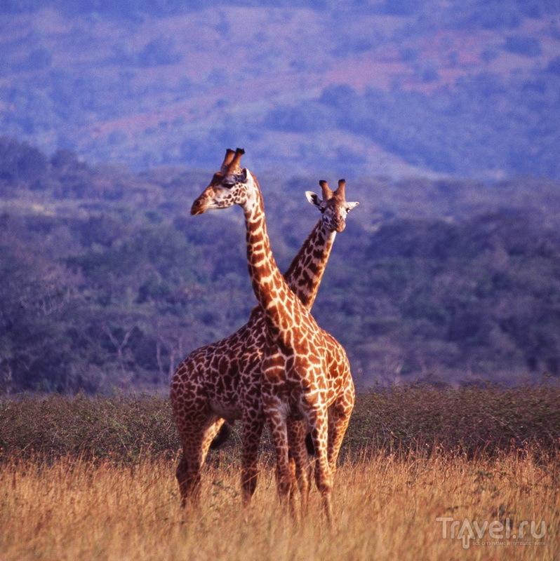 Жирафы парка Акагера