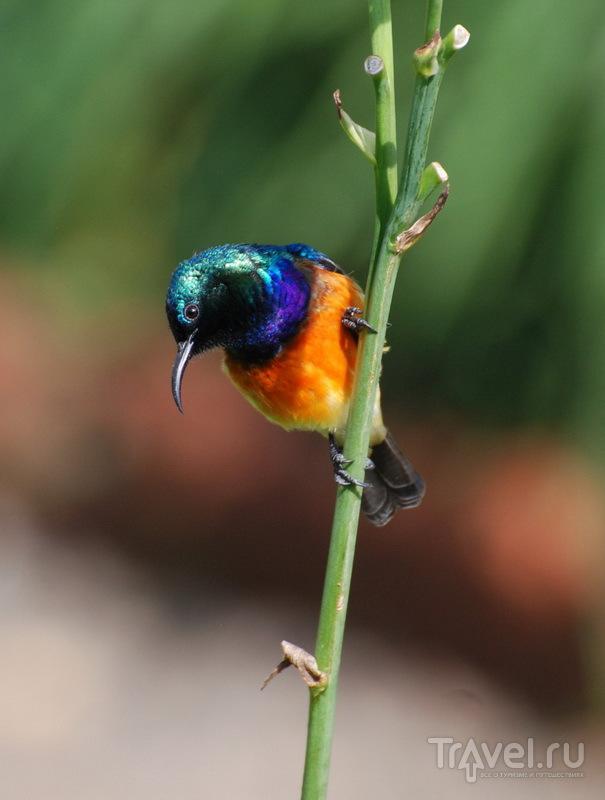 Нектарница - один из 700 видов птиц, обитащих в Руанде