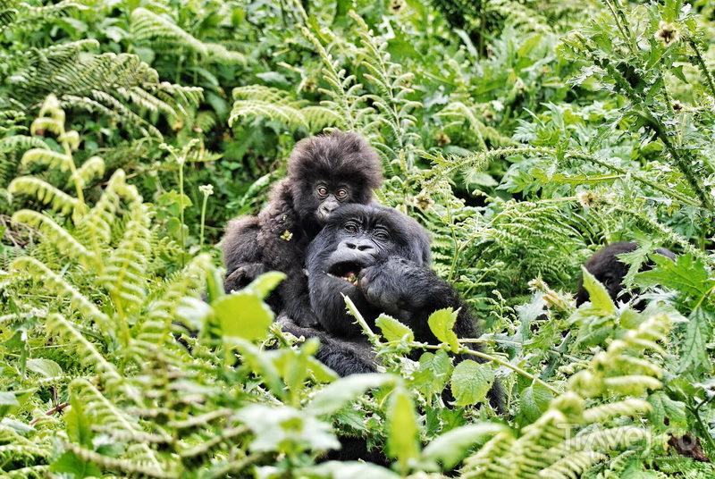 Самка горной гориллы с детенышем