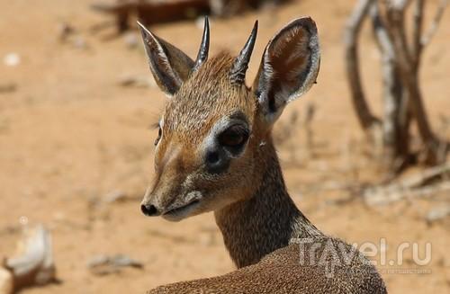 Кения: дикдик - самая маленькая и верная антилопа на свете / Кения
