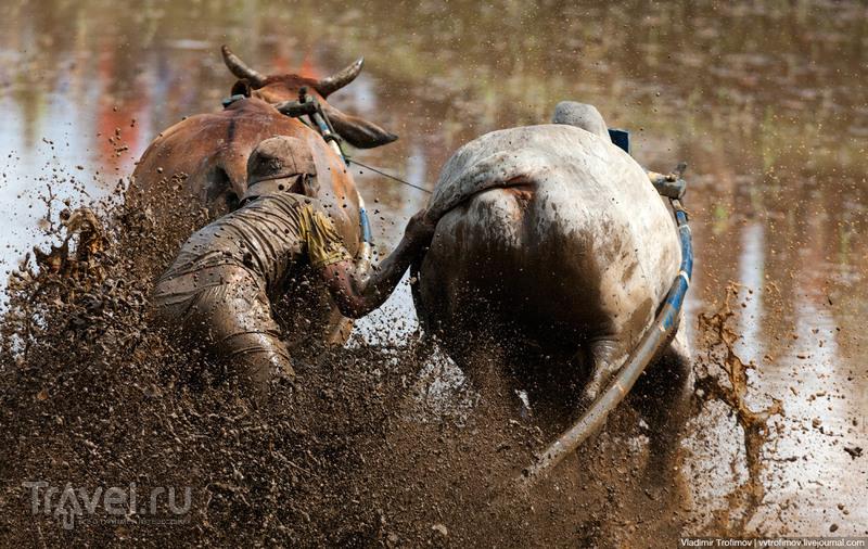 Вы видали как бегут быки / Фото из Индонезии