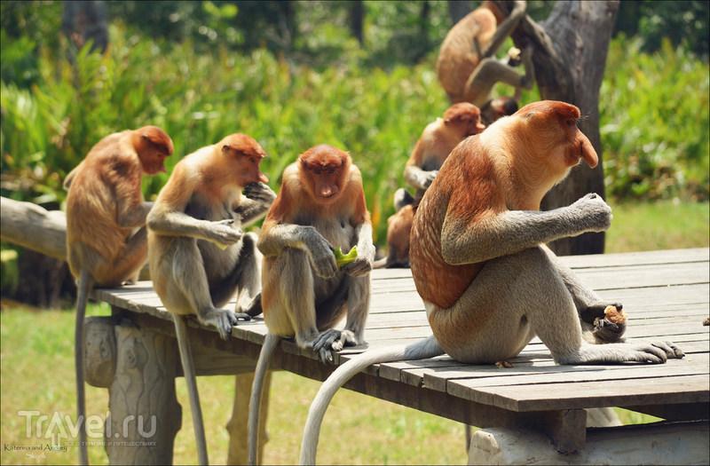 Носачи острова Борнео. Малайзия / Малайзия