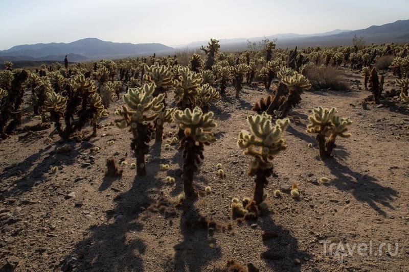 Разнообразие пустыни. Joshua Tree Park, Калифорния, США / Фото из США