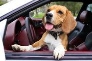 Собак и кошек можно перевозить на автомобиле