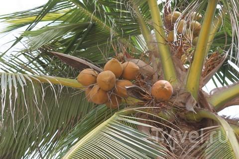 Кокос на Филиппинах. И поесть, и выпить / Филиппины