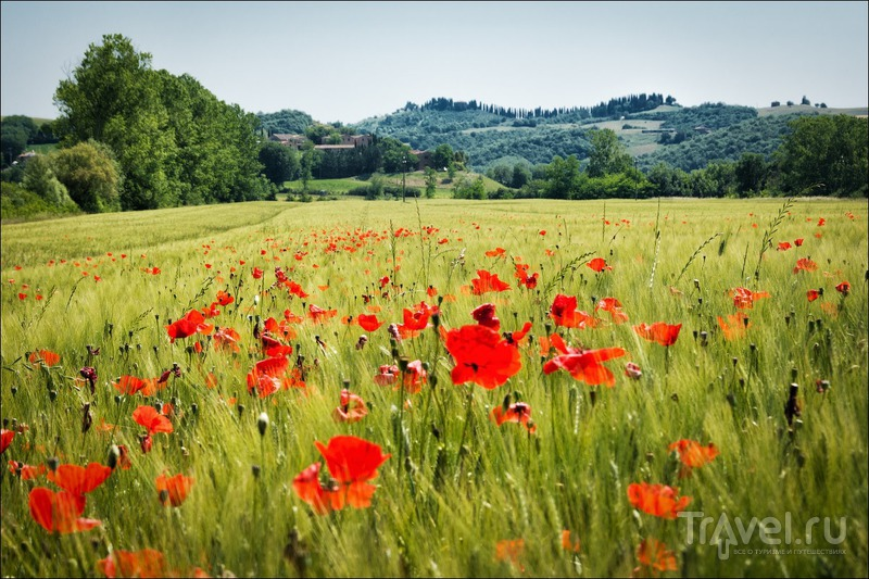 Тосканские маки / Фото из Италии