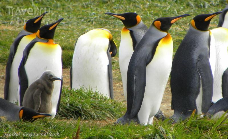 Чили - сбыча мечт! Королевские пингвины на Огненной Земле / Чили