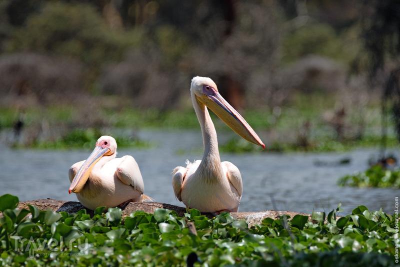 Озеро Найваша - драгоценность Кении / Фото из Кении