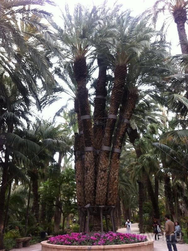 Императорская пальма
