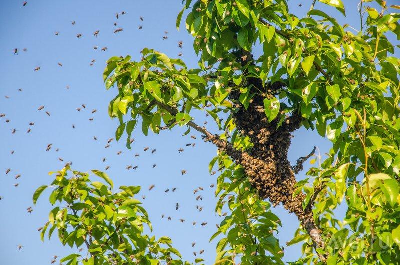 Пчелиный рой, улетевший из улья