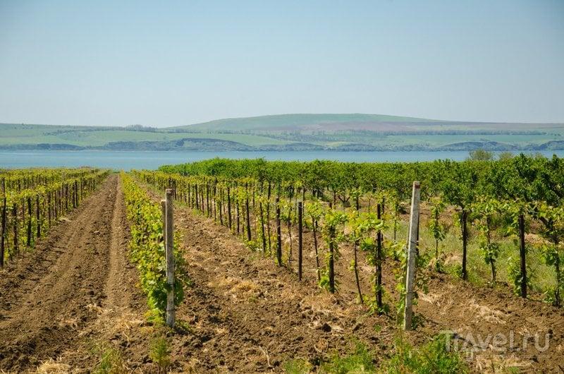 Виноградники на фоне Кизилташского лимана