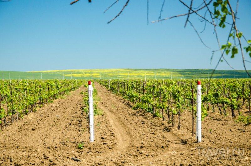 """Около 7 тысяч гектаров таманских виноградников принадлежит заводу """"Кубань-Вино"""", еще 3 тысячи гектаров - """"Фанагории"""""""