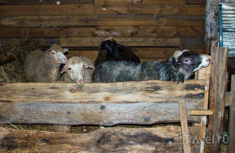 Бараны и фермеры в Крагопольском районе стали редкостью: теперь их показывают журанлистов как местную достопримечательность / Фото из России