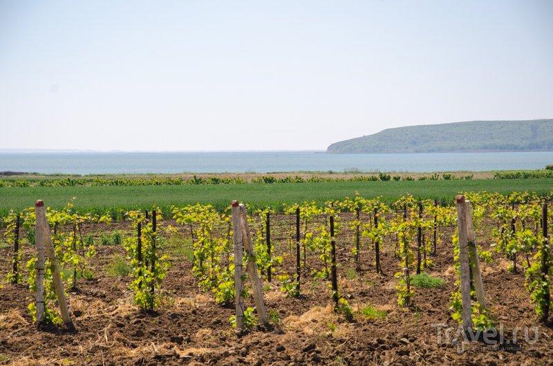 На берегу Кизилташского лимана выращивают виноград