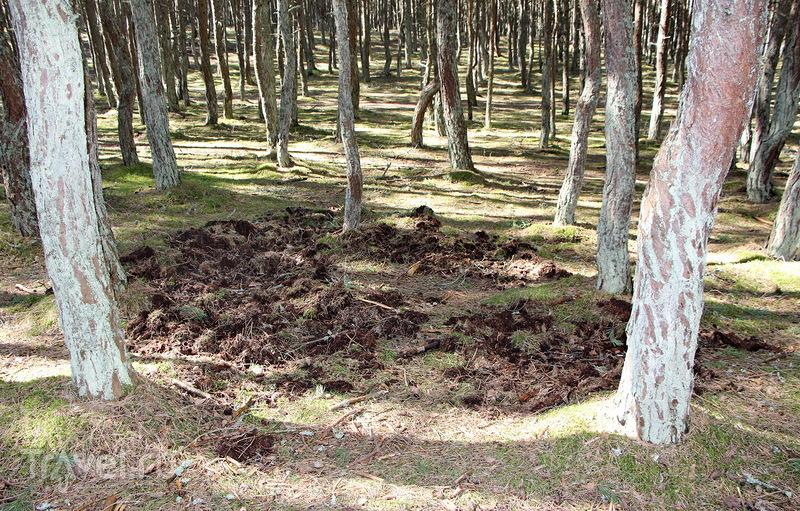 Куршская коса - Танцующий лес