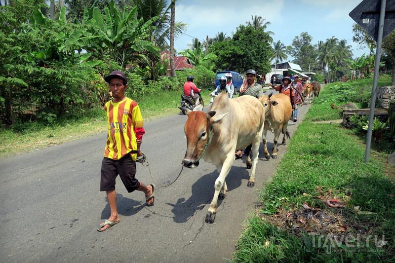 Индонезия: Пачу Джави - фестиваль быков Суматры / Фото из Индонезии