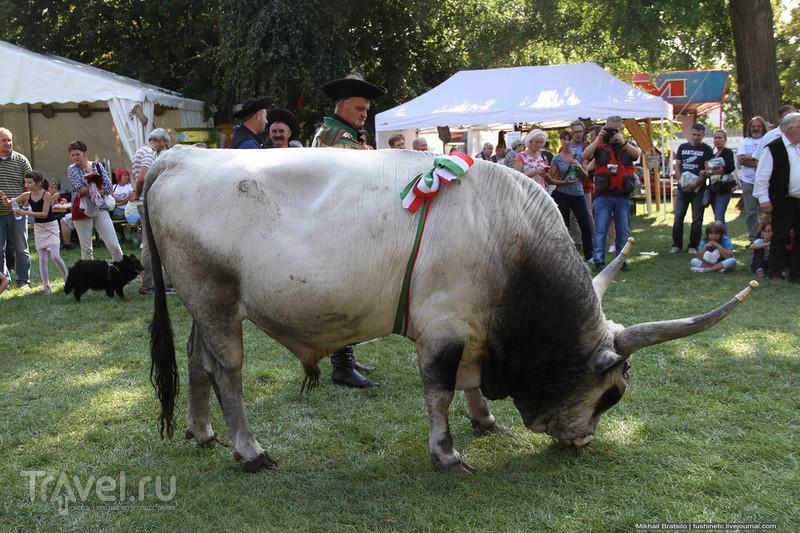 Праздник Серого Быка / Венгрия