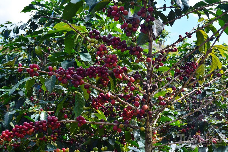 "Парк Пренн, кофе ""Копи лювак"" / Вьетнам"