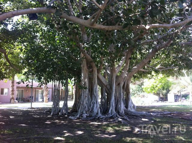 Ходячее дерево
