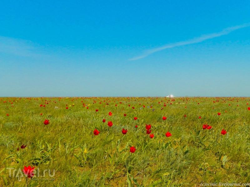 Фестиваль тюльпанов в Калмыкии / Россия