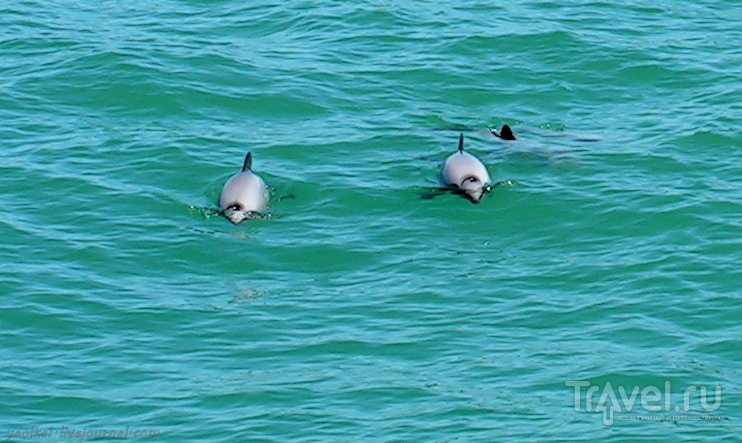 В стране антиподов. Акароа: самые маленькие дельфины в кратере древнего вулкана / Фото из Новой Зеландии
