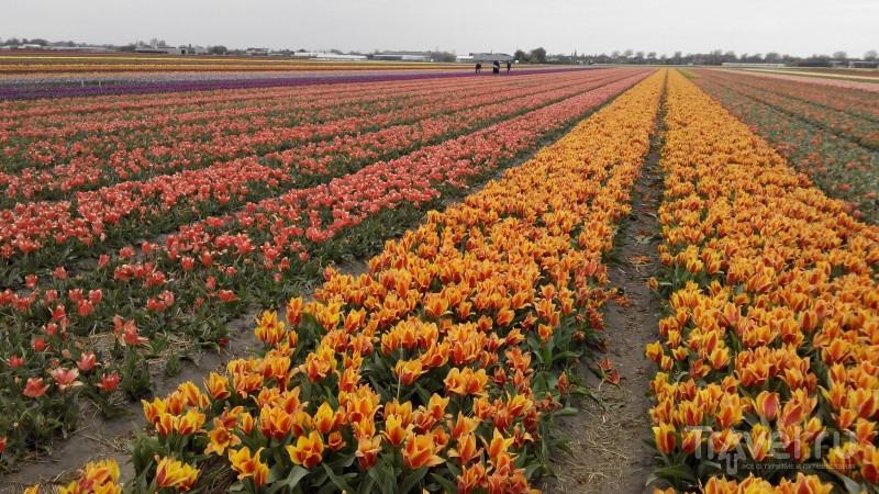 Голландия весенняя / Нидерланды