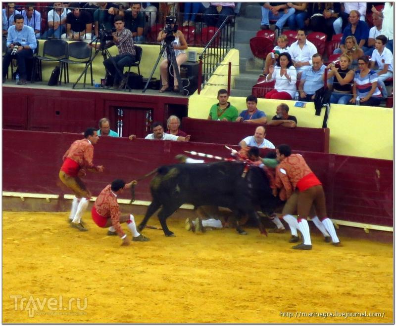 Торада - бой быков по-португальски / Португалия