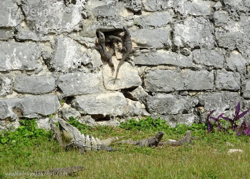 Mundo Maya. Мексика. Игуаны на руинах Тулум / Мексика
