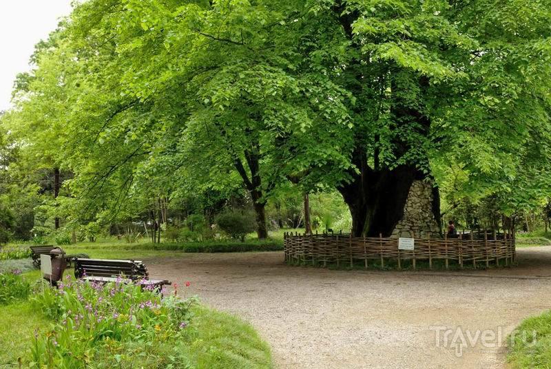 Реликтовая липа в Сухумском ботаническом саду / Россия