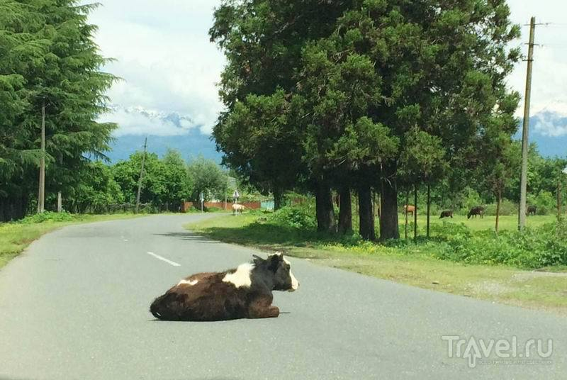 Местные коровы как участники дорожного движения / Россия