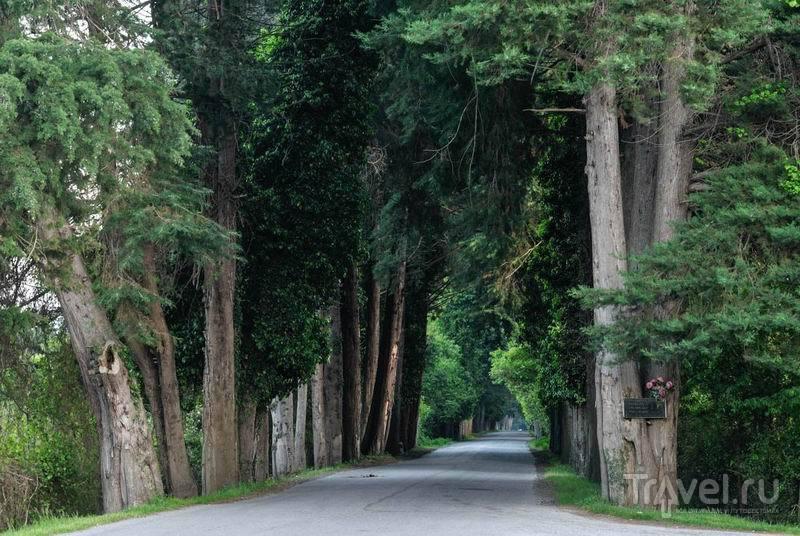 Древние эвкалипты на въезде в Пицунду / Россия